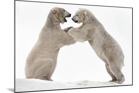 Polar Bear (Ursus Maritimus) Males Playfighting, Scotland-Ann & Steve Toon-Mounted Photographic Print