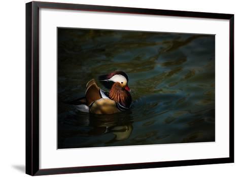 The Mandarin Duck (Aix Galericulata), United Kingdom, Europe-John Alexander-Framed Art Print