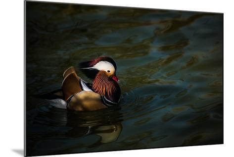 The Mandarin Duck (Aix Galericulata), United Kingdom, Europe-John Alexander-Mounted Photographic Print