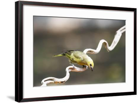 Palm Tanager (Thraupis Palmarum), Pantanal, Mato Grosso, Brazil, South America-G&M Therin-Weise-Framed Art Print