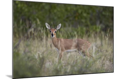 Steenbok (Raphicerus Campestris) Buck, Kruger National Park, South Africa, Africa-James Hager-Mounted Photographic Print