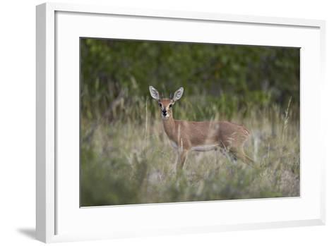Steenbok (Raphicerus Campestris) Buck, Kruger National Park, South Africa, Africa-James Hager-Framed Art Print