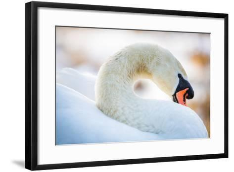 Swan in the Morning Light, United Kingdom, Europe-John Alexander-Framed Art Print