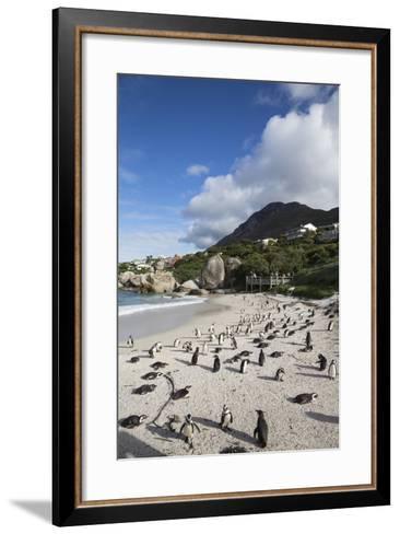 African Penguins (Spheniscus Demersus) on Foxy Beach, Simon's Town, Cape Town-Ann & Steve Toon-Framed Art Print