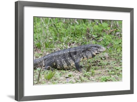 Black and White Tegu (Tupinambis Merianae), Pantanal, Brazil, South America-G&M Therin-Weise-Framed Art Print