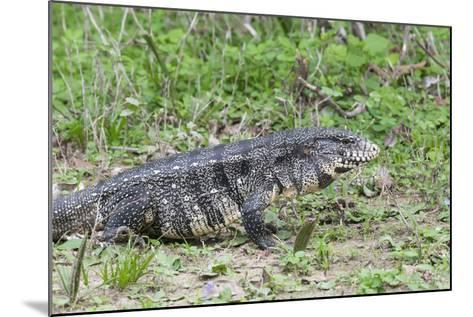 Black and White Tegu (Tupinambis Merianae), Pantanal, Brazil, South America-G&M Therin-Weise-Mounted Photographic Print