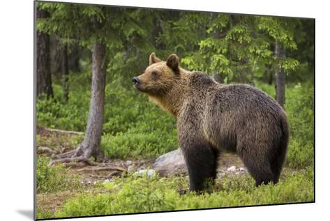 Brown Bear (Ursus Arctos), Finland, Scandinavia, Europe-Andrew Sproule-Mounted Photographic Print