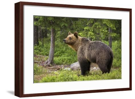 Brown Bear (Ursus Arctos), Finland, Scandinavia, Europe-Andrew Sproule-Framed Art Print
