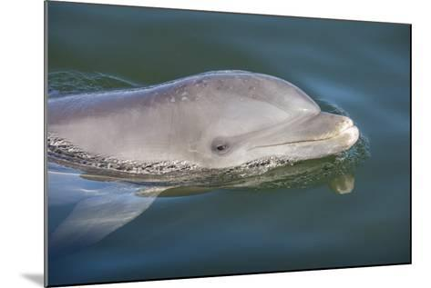 Bottlenose Dolphin, Tursiops Tursiops, Grassy Key, Florida, United States of America, North America-Michael Runkel-Mounted Photographic Print