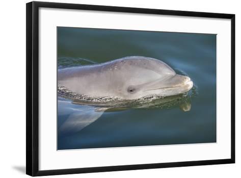 Bottlenose Dolphin, Tursiops Tursiops, Grassy Key, Florida, United States of America, North America-Michael Runkel-Framed Art Print