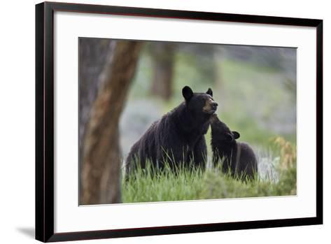Black Bear (Ursus Americanus), Sow and Yearling Cub, Yellowstone National Park, Wyoming, U.S.A.-James Hager-Framed Art Print