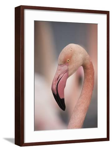 Pink Flamingo, Camargue, France, Europe-Janette Hill-Framed Art Print