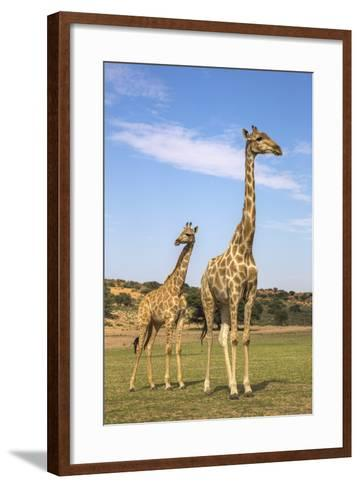 Giraffe (Giraffa Camelopardalis) with Young, Kgalagadi Transfrontier Park, Northern Cape, Africa-Ann & Steve Toon-Framed Art Print