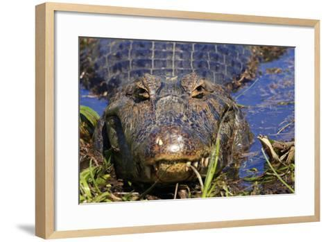 A Pantanal (Yacare) Caiman (Caiman Yacare), Mato Grosso Do Sul, Brazil, South America-Alex Robinson-Framed Art Print