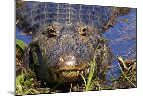 A Pantanal (Yacare) Caiman (Caiman Yacare), Mato Grosso Do Sul, Brazil, South America-Alex Robinson-Mounted Photographic Print