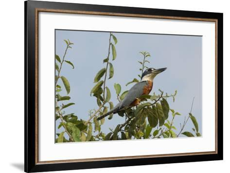 Ringed Kingfisher (Ceryle Torquata), Pantanal, Mato Grosso, Brazil, South America-G&M Therin-Weise-Framed Art Print