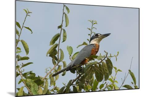 Ringed Kingfisher (Ceryle Torquata), Pantanal, Mato Grosso, Brazil, South America-G&M Therin-Weise-Mounted Photographic Print