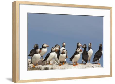 Puffin (Fratercula Arctica), Farne Islands, Northumberland, England, United Kingdom, Europe-Ann & Steve Toon-Framed Art Print