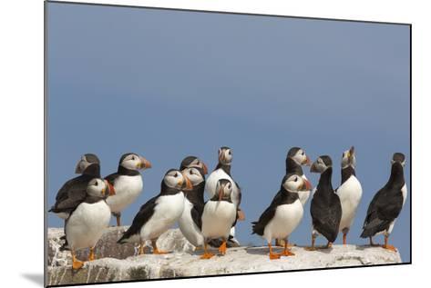 Puffin (Fratercula Arctica), Farne Islands, Northumberland, England, United Kingdom, Europe-Ann & Steve Toon-Mounted Photographic Print