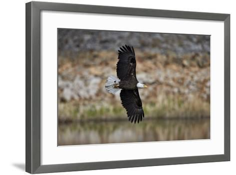 Bald Eagle (Haliaeetus Leucocephalus) in Flight, Yellowstone National Park, Wyoming, U.S.A.-James Hager-Framed Art Print