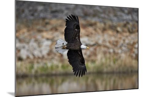 Bald Eagle (Haliaeetus Leucocephalus) in Flight, Yellowstone National Park, Wyoming, U.S.A.-James Hager-Mounted Photographic Print