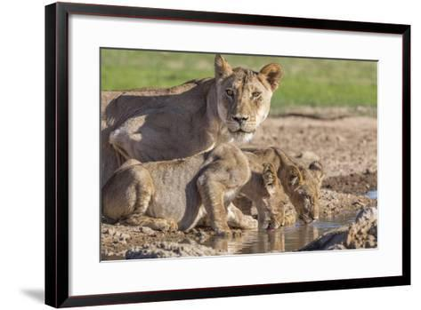 Lioness with Cubs (Panthera Leo) at Water, Kgalagadi Transfrontier Park, Northern Cape, Africa-Ann & Steve Toon-Framed Art Print