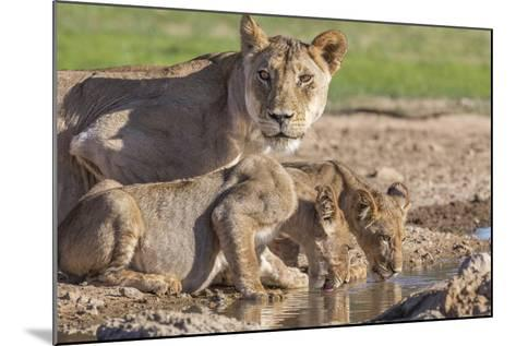 Lioness with Cubs (Panthera Leo) at Water, Kgalagadi Transfrontier Park, Northern Cape, Africa-Ann & Steve Toon-Mounted Photographic Print