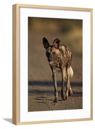 African Wild Dog (African Hunting Dog) (Cape Hunting Dog) (Lycaon Pictus) Running, Africa-James Hager-Framed Art Print