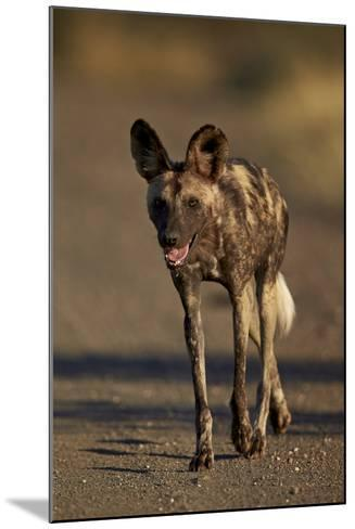 African Wild Dog (African Hunting Dog) (Cape Hunting Dog) (Lycaon Pictus) Running, Africa-James Hager-Mounted Photographic Print