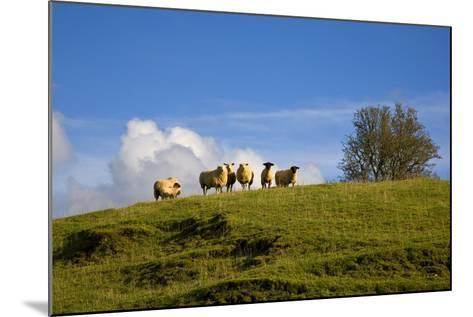 Sheep Near Athenry,County Galway, Ireland--Mounted Photographic Print