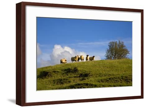 Sheep Near Athenry,County Galway, Ireland--Framed Art Print