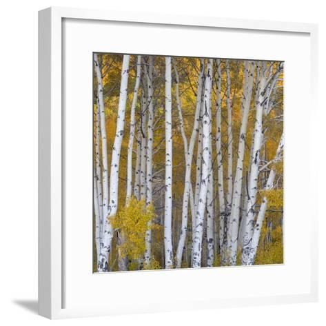 Aspen Trees in a Forest, Boulder Mountain, Utah, Usa--Framed Art Print