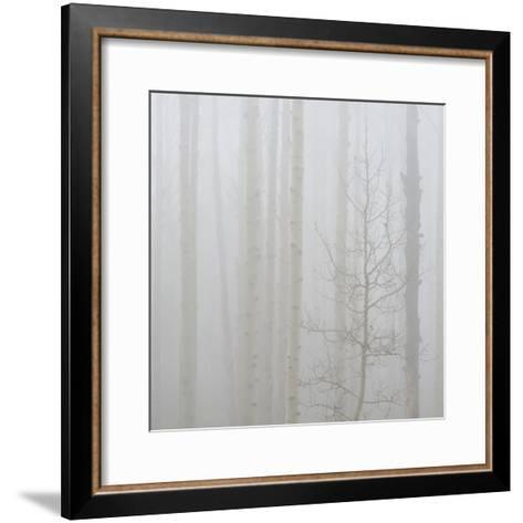 Aspen Trees in a Forest During Fog, Boulder Mountain, Utah, Usa--Framed Art Print