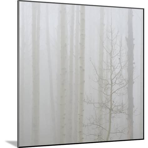 Aspen Trees in a Forest During Fog, Boulder Mountain, Utah, Usa--Mounted Photographic Print