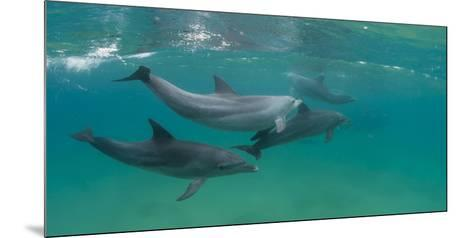 Bottle-Nosed Dolphin (Tursiops Truncatus) Swimming in Sea, Sodwana Bay, South Africa--Mounted Photographic Print
