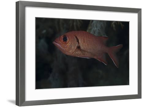 A Bigscale Soldierfish, Fiji-Stocktrek Images-Framed Art Print