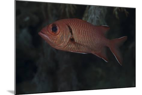 A Bigscale Soldierfish, Fiji-Stocktrek Images-Mounted Photographic Print
