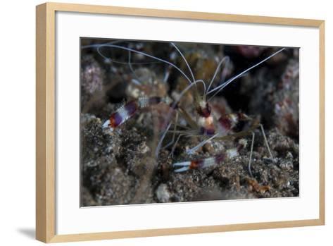 A Banded Coral Shrimp Crawls on the Seafloor-Stocktrek Images-Framed Art Print