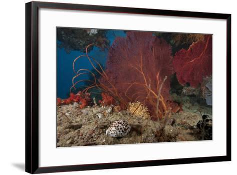 A Large Red Gorgonian Sea Fan and Tiger Cowrie in Waters Off Fiji-Stocktrek Images-Framed Art Print