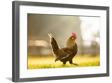Cockerel at Sunrise, United Kingdom, Europe-John Alexander-Framed Art Print