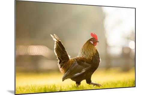 Cockerel at Sunrise, United Kingdom, Europe-John Alexander-Mounted Photographic Print