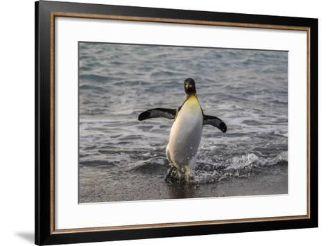 King Penguin (Aptenodytes Patagonicus) Returning from the Sea at Gold Harbour, Polar Regions-Michael Nolan-Framed Art Print