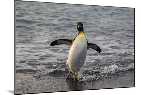 King Penguin (Aptenodytes Patagonicus) Returning from the Sea at Gold Harbour, Polar Regions-Michael Nolan-Mounted Photographic Print