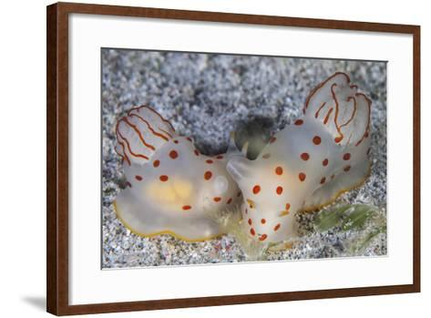 A Pair of Ceylon Nudibranchs Mating on a Sandy Slope-Stocktrek Images-Framed Art Print