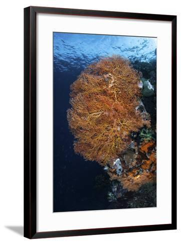A Colorful Gorgonian Grows on a Reef Dropoff in Raja Ampat-Stocktrek Images-Framed Art Print