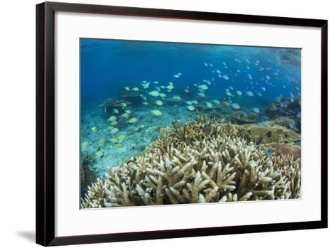 Reef Fishes Amongst Profusion of Hard Plate at Pulau Setaih Island, Natuna Archipelago, Indonesia-Michael Nolan-Framed Art Print