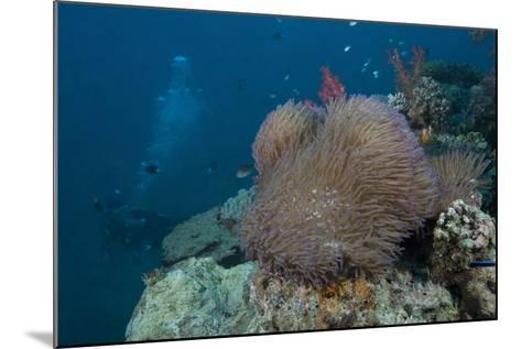 Diver Swims Past a Large Sea Anenome on a Fijian Reef-Stocktrek Images-Mounted Photographic Print