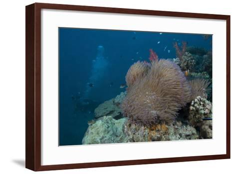 Diver Swims Past a Large Sea Anenome on a Fijian Reef-Stocktrek Images-Framed Art Print