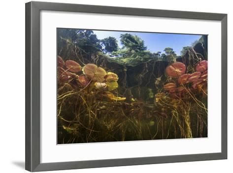 Young Lily Pads Grow to the Surface Along the Edge of a Freshwater Lake-Stocktrek Images-Framed Art Print