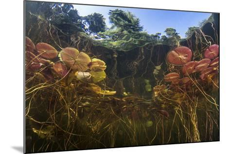 Young Lily Pads Grow to the Surface Along the Edge of a Freshwater Lake-Stocktrek Images-Mounted Photographic Print